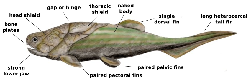 Placoderm_anatomy